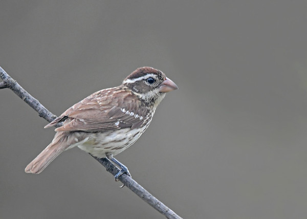 """<div class=""""jaDesc""""> <h4>Female Rose-Breasted Grosbeak on Branch - May 1, 2019</h4> <p>So far her favorite perch is a leafless Cherry tree branch.  She seems puzzled to see female Evening Grosbeaks still around.</p></div>"""