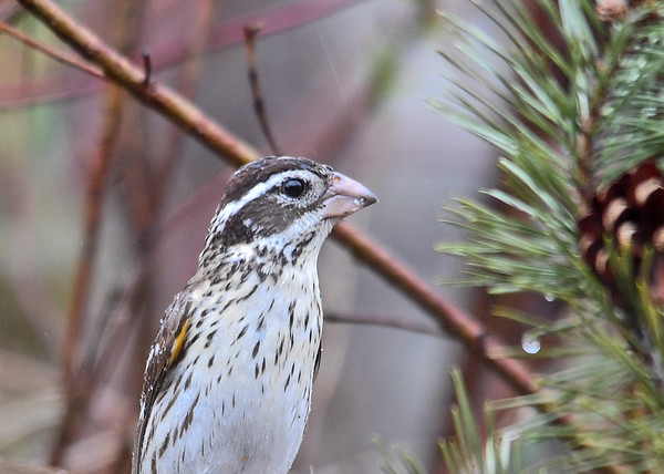 """<div class=""""jaDesc""""> <h4>Female Rose-Breasted Grosbeak Close-up - May 3 2018</h4> <p>She arrived two days after the male showed up.  Unfortunately that means I did not get to hear the male's beautiful call for a week or so.</p> </div>"""