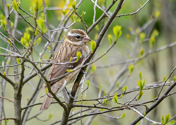 """<div class=""""jaDesc""""> <h4> Female Grosbeak in Winterberry bush - May 2, 2017</h4> <p>She was waiting in one of our Winterberry bushes for the Blue Jay to move off the feeder.</p> </div>"""