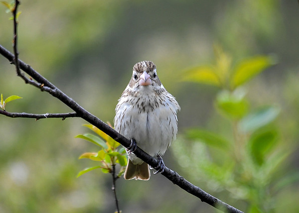 "<div class=""jaDesc""> <h4>Female Rose-Breasted Grosbeak Looking at Me - May 11 2018</h4> <p></p> </div>"