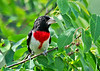 """<div class=""""jaDesc""""> <h4> Male Rose-breasted Grosbeak Eyeing Berries - June 17, 2014 </h4> <p>I just realized today that we have 2 nesting pairs of Rose-breasted Grosbeaks.  All 4 were in at the same time.  We should be seeing fledglings soon.</p> </div>"""