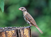 """<div class=""""jaDesc""""> <h4> Juvenile Female Rose-Breasted Grosbeak - July 7, 2016</h4> <p>In this pose at the suet feeder log, the juvenile Grosbeak looks like she needs to grow into her large beak.  She seemed fascinated with all the seed choices in front of her.</p> </div>"""