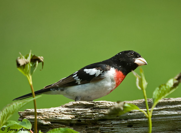 """<div class=""""jaDesc""""> <h4> Male Rose-breasted Grosbeak Looking Up - July 4, 2009 </h4> <p>This is my last photo of a male Rose-breasted Grosbeak this year.  He was on guard for the local Sharp-shinned Hawk.  I guess he and his mate moved to a safer location.</p> </div>"""
