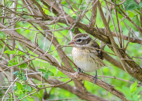 """<div class=""""jaDesc""""> <h4> Female Grosbeak Hiding - May 2, 2017</h4> <p>This female Rose-breasted Grosbeak always comes into the backyard through the honeysuckle bushes where she is well protected.</p> </div>"""