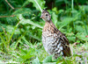 "<div class=""jaDesc""> <h4> Female Ruffed Grouse - June 22, 2012</h4> <p> This female Ruffed Grouse was grazing on the shoulder of the road along with her mate and 4 juveniles.  By the time I got stopped, backed up and got my camera ready, the others had moved into the woods.  But she kept on grazing and looking up at me.</p> </div>"