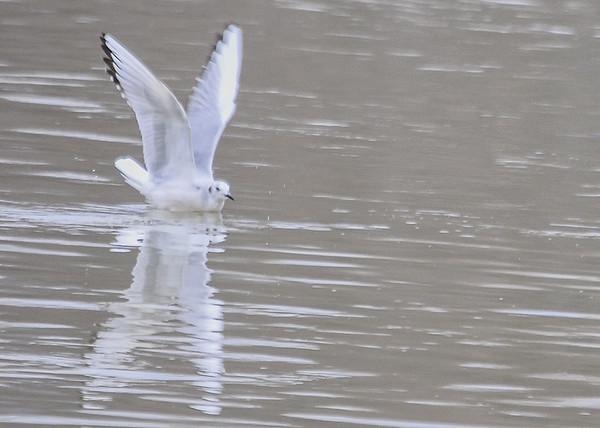 "<div class=""jaDesc""> <h4>Bonaparte's Gull Landing - March 27, 2015</h4> <p> Susquehanna River in Endicott, NY.</p> </div>"