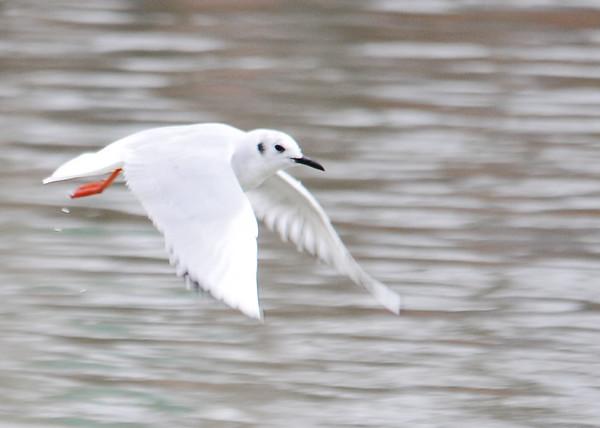 "<div class=""jaDesc""> <h4>Bonaparte's Gull In-flight Wings Down - March 27, 2015</h4> <p> Susquehanna River in Endicott, NY.</p> </div>"