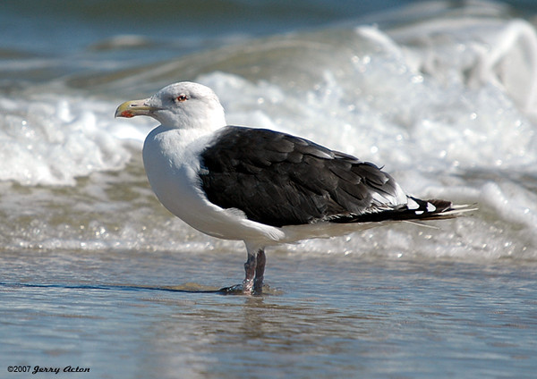 """<div class=""""jaDesc""""> <h4> Adult Great Black-backed Gull in Surf - October 30, 2005</h4> <p> This adult Great Black-backed Gull was content to let me take lots of pictures as he stood in the surf.</p> </div>"""