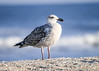 "<div class=""jaDesc""> <h4>Immature Great Black-backed Gull Standing Guard - November 9, 2016</h4> <p> This immature Great Black-backed Gull was standing guard over 2 others on the beach at Chincoteague Wildlife Preserve.</p> </div>"