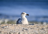 "<div class=""jaDesc""> <h4>Immature Great Black-backed Gull Relaxing - November 9, 2016</h4> <p> This second immature Great Black-backed Gull was not flustered by my presence.  Chincoteague Wildlife Preserve.</p> </div>"