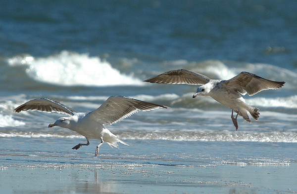 """<div class=""""jaDesc""""> <h4>Immature Great Black-backed Gull Pair Landing - October 30, 2005</h4> <p> After watching the gulls landing behavior for awhile, I was able to get prepared to catch these two Great Black-backed Gulls coming in for a landing.</p> </div>"""