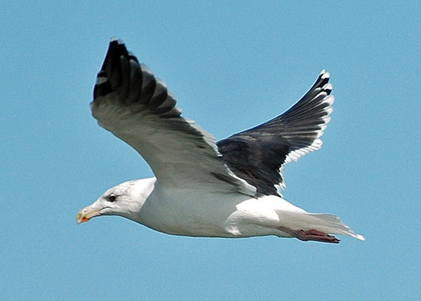 """<div class=""""jaDesc""""> <h4> Adult Great Black-backed Gull Wings Up - October 30, 2005</h4> <p> There were lots of these Great Black-backed Gulls soaring high above the water along Virginia Beach, VA.</p> </div>"""