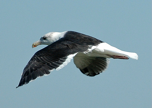 """<div class=""""jaDesc""""> <h4> Great Black-backed Gull In-flight - October 30, 2005</h4> <p> When we drive across the bay bridge into Virginia Beach, VA, there is usually a Great Black-backed Gull perched on every 2nd or 3rd lamp pole.  Sometimes they will be soaring along at window height beside the car.</p> </div>"""