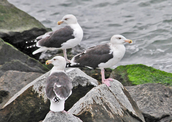 "<div class=""jaDesc""> <h4>Great Black-backed Gulls Resting on Rocks - November 7, 2013</h4> <p> As I was taking photos of the first gull. two more Great Black-backed Gulls landed next to him.  Many of these large gulls can also be seen perched on the lamp poles along the entire 20 mile stretch of the bridge.</p> </div>"