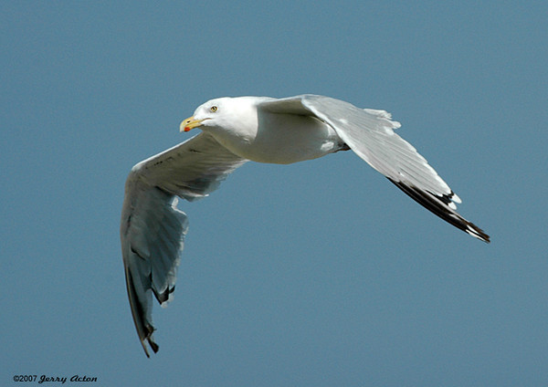 "<div class=""jaDesc""> <h4> Adult Herring Gull In-Flight - August 2006</h4> <p> I was practicing getting in-flight shots of gulls.  This adult Herring Gull offered me lots of opportunity as he soared up and down the beach above the surf.</p> </div>"