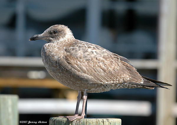 """<div class=""""jaDesc""""> <h4> Herring Gull - 2nd Year Plumage - August 2006</h4> <p>This photo was taken in Virginia Beach by a boat dock area. The 2nd year plumage on this Herring Gull is much different from the adult plumage.</p> </div>"""