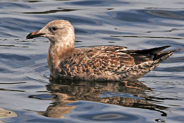 """<div class=""""jaDesc""""> <h4> Herring Gull - 2nd Year Plumage - October 11, 2011 </h4> <p> This is a 2nd year Herring Gull recognizable by its dark bill and rich brown mottled coloring. By the end of its 2nd year, the beak becomes flesh colored with a dark tip. Photo taken at Belfast Harbor in Maine.</p> </div>"""