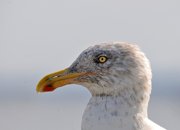 """<div class=""""jaDesc""""> <h4> Herring Gull - 3rd Year Plumage - October 11, 2011 </h4> <p> This is a 3rd year Herring Gull. He has the orange bill with red spot on the bottom like the adult, but still has some flecking in the white head feathers. Photo taken at Belfast Harbor in Maine.</p> </div>"""
