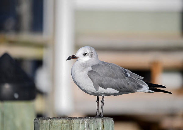 """<div class=""""jaDesc""""> <h4> Laughing Gull on Pier Post - November 10, 2016</h4> <p>This Laughing Gull was in much the same pose on the same post as one a year ago at the Virginia Beach inlet piers.</p> </div>"""