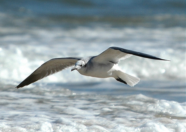 """<div class=""""jaDesc""""> <h4> Laughing Gull Gliding Along the Surf - October 2005 </h4> <p> The Laughing Gulls would glide low over the water as they followed the shallow surf along the beach.  I was laying in the sand to get this shot.</p> </div>"""