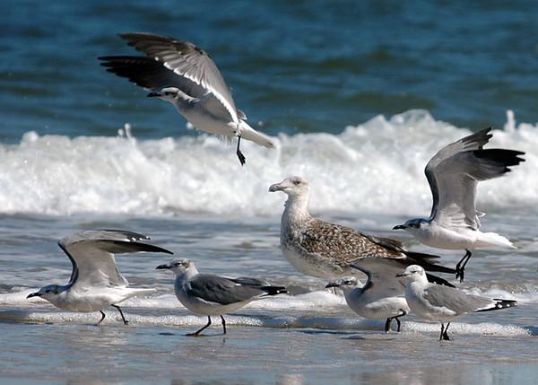 "<div class=""jaDesc""> <h4> Laughing Gulls Taking Off - October 2005 </h4> <p>These Laughing Gulls are taking off as a labrador retriever puppy is approaching them through the shallow surf.</p> </div>"