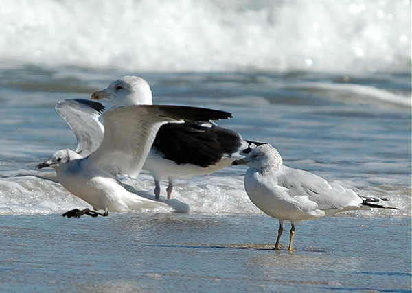 """<div class=""""jaDesc""""> <h4> Laughing Gull Landing - October 2005 </h4> <p>This Laughing Gull was on final approach to the shallow surf.</p> </div>"""