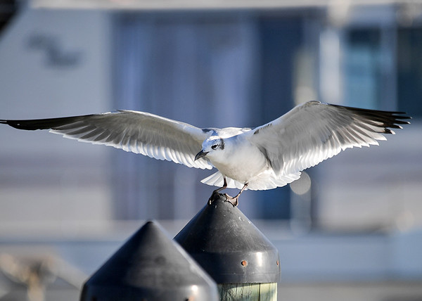 """<div class=""""jaDesc""""> <h4> Laughing Gull Trying to Land - November 10, 2016</h4> <p>This Laughing Gull has not yet learned that you cannot land on a slippery plastic cone. Virginia Beach inlet piers.</p> </div>"""