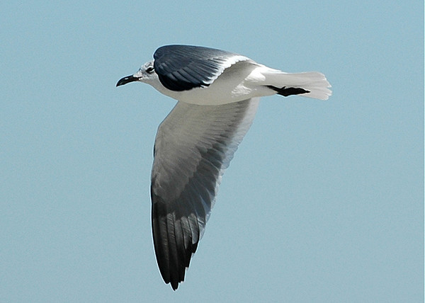 """<div class=""""jaDesc""""> <h4> Laughing Gull in Winter Plumage - October 2005 </h4> <p>The Laughing Gulls change their look over the winter.  This guy was flying at about 75 feet looking for fish.</p> </div>"""