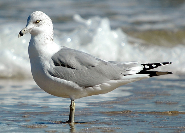 """<div class=""""jaDesc""""> <h4> Adult Ring-billed Gull Standing in Surf - October 30, 2005 </h4> <p>This adult Ring-billed Gull let me get pretty close.  She was enjoying the afternoon sunshine and rolling surf.</p> </div>"""