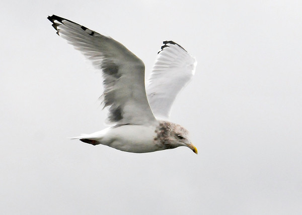 """<div class=""""jaDesc""""> <h4>Immature Ring-billed Gull In-flight Wings Up - November 7, 2013 </h4> <p> This photo was taken on Assateague Island near one of the fishing piers. When this Ring-billed Gull is mature, he will lose the mottled neck and the ring will fill out on top of the bill.</p> </div>"""