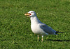 """<div class=""""jaDesc""""> <h4> Ring-billed Gull Gulping Pizza Crust - October 11, 2011 </h4> <p> I tossed a piece of pizza crust on the grass in front of this Ring-billed Gull. She quickly walked over to it, grabbed it and swallowed it in one quick gulp.</p> </div>"""