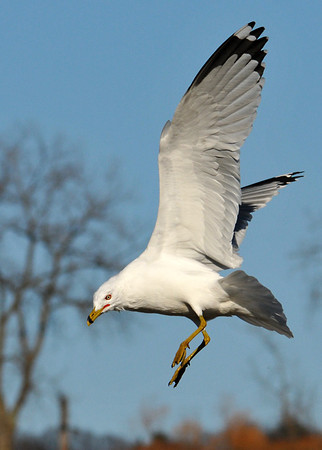 """<div class=""""jaDesc""""> <h4> Ring-billed Gull Landing - February 20, 2012 </h4> <p> This Ring-billed Gull was dropping down to a grassy area at Treman Marine Park, Ithaca, NY.</p> </div>"""
