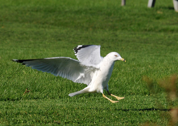 """<div class=""""jaDesc""""> <h4> Ring-billed Gull In-bound for Treat - October 11, 2011 </h4> <p> I tossed a piece of pizza crust into the air as a Ring-billed Gull flew by. She immediately turned around and came in for a landing on the grass in front of me, hoping for a handout.</p> </div>"""