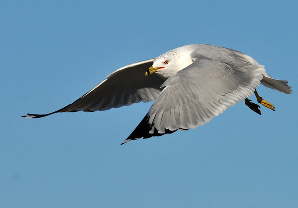 """<div class=""""jaDesc""""> <h4> Ring-billed Gull Fly-by - February 20, 2012 </h4> <p> This Ring-billed Gull went zooming by 20 feet off the ground. He was competing with other gulls for bread being tossed by a park visitor.</p> </div>"""