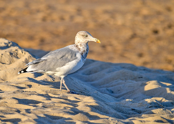 """<div class=""""jaDesc""""> <h4>Immature Ring-billed Gull in Setting Sun - October 23, 2017 </h4> <p>As the sun was setting, it cast a nice golden glow on this Immature Ring-billed Gull that was walking along the dunes.</p></div>"""