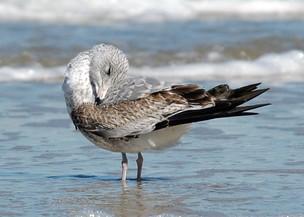 """<div class=""""jaDesc""""> <h4> Ring-billed Gull Preening - October 30, 2005 </h4> <p>This first year Ring-billed Gull was busy preening as she stood in the shallow surf  by the bay in Virginia Beach, VA.</p> </div>"""