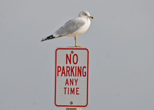 """<div class=""""jaDesc""""> <h4> Ring-billed Gull Perched on Sign - December 16, 2014 </h4> <p> I passed this Ring-billed Gull perched on one leg on a No Parking Sign (his private parking spot) as I went to photograph birds in the shallows at Chincoteague.  He was still there in the exact same pose when I left an hour later.  The wind was blowing 25 MPH the entire time.</p> </div>"""