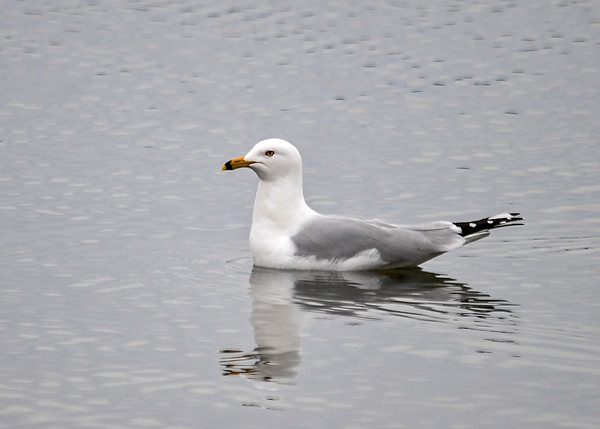 """<div class=""""jaDesc""""> <h4>Ring-billed Gull Relaxing - March 30, 2017 </h4> <p>This Ring-billed Gull was calmly floating along the shore of Cayuga Lake at Meyers Point.</p></div>"""