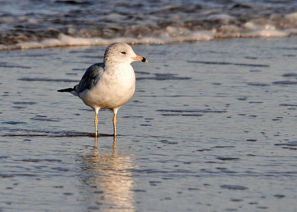 """<div class=""""jaDesc""""> <h4>Ring-billed Gull Sunning - November 9, 2013 </h4> <p> This Ring-billed Gull was dozing on and off as she stood in the shallow surf enjoying the warmth of the afternoon sun.</p> </div>"""