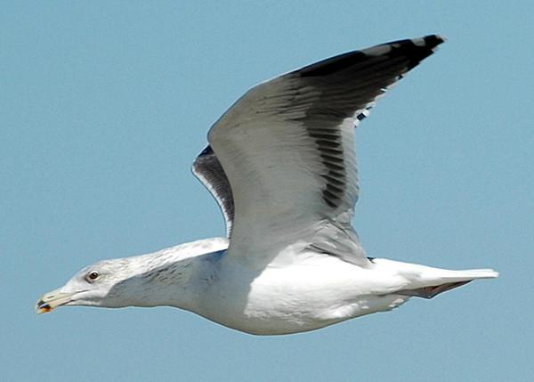"""<div class=""""jaDesc""""> <h4> Ring-billed Gull  In-flight #2 - January 3, 2011 </h4> <p>Ring-billed Gulls were flying above the surf in both directions by the bay in Virginia Beach, VA all morning long.</p> </div>"""