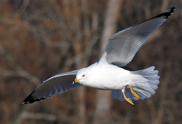 """<div class=""""jaDesc""""> <h4> Ring-billed Gull with Eye on Bread - February 20, 2012 </h4> <p> This Ring-billed Gull was hovering into the wind about 20 feet off the ground above where a park visitor was tossing bread.</p> </div>"""
