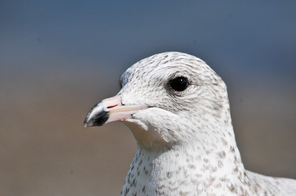 """<div class=""""jaDesc""""> <h4> Immature Ring-billed Gull Close-up - September 27, 2012 </h4> <p> As this Ring-billed Gull matures, his bill will turn yellow, he will get a red eye ring, and the black tip on his beak will form a complete ring.</p> </div>"""
