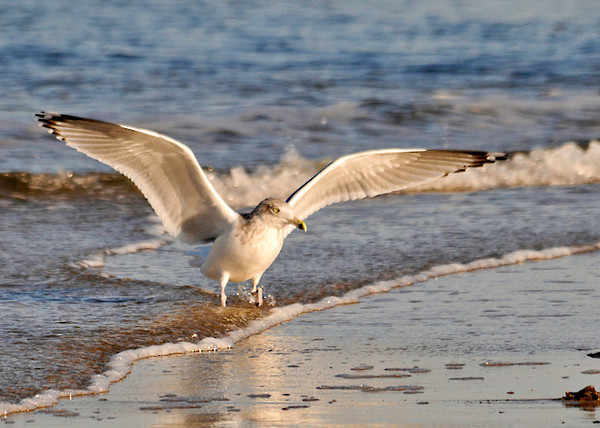 """<div class=""""jaDesc""""> <h4>Ring-billed Gull Landing - November 9, 2013 </h4> <p> This Ring-billed Gull was just landing on the edge of the surf.  A group of four gulls was taking turns taking-off and landing as they worked their way down the beach. </p> </div>"""