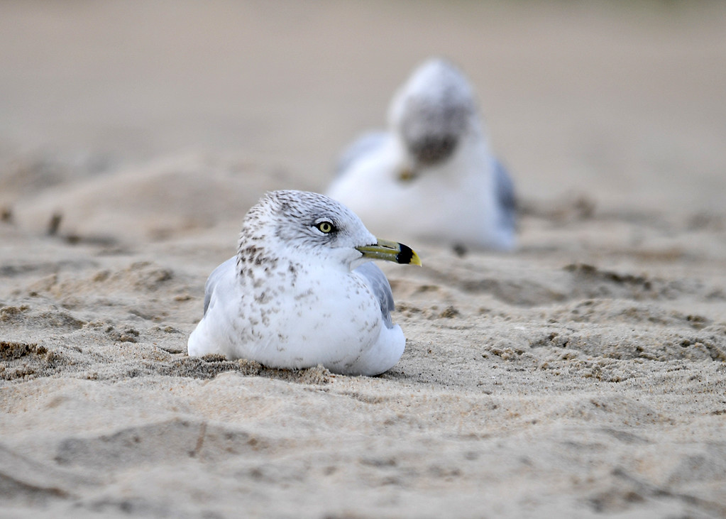 """<div class=""""jaDesc""""> <h4>Ring-billed Gull Resting on Beach - October 23, 2017 </h4> <p>The wind was blowing about 30 MPH in late afternoon on a beach on Chincoteague Island, VA.  This adult Ring-billed Gull was hunkered down in the sand taking a rest.</p></div>"""