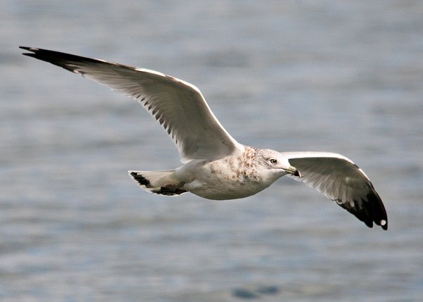 """<div class=""""jaDesc""""> <h4> Immature Ring-billed Gull Soaring - September 27, 2012 </h4> <p> Lots of Ring-billed Gull were soaring over Cayuga Lake near the Treman State Park marina. </p> </div>"""