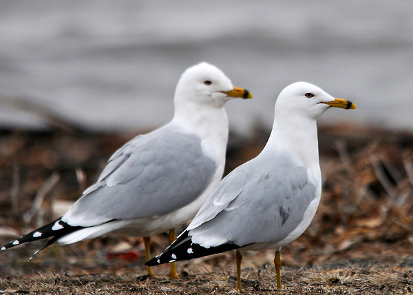 """<div class=""""jaDesc""""> <h4> Ring-billed Gull Courtship - March 31, 2014 - Video Attached</h4> <p> These two Ring-billed Gulls were hanging very close to each other.  The male was fending off attempts by other gulls to steal his gal.</p>  </div> <center> <a href=""""http://www.youtube.com/watch?v=vz5uq8wDA_s""""  style=""""color: #0000FF"""" class=""""lightbox""""><strong> Play Video</strong></a>"""