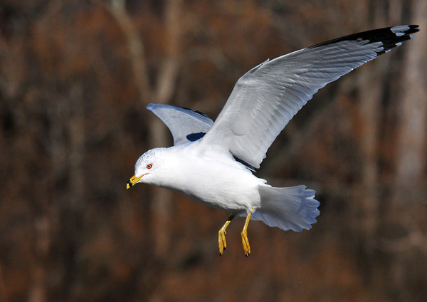 "<div class=""jaDesc""> <h4> Ring-billed Gull Hovering into Wind - February 20, 2012 </h4> <p> This Ring-billed Gull was hovering into the wind about 20 feet off the ground above where a park visitor was tossing bread.</p> </div>"