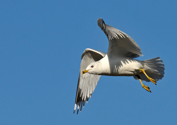 """<div class=""""jaDesc""""> <h4> Ring-billed Gull on Approach - February 20, 2012 </h4> <p> This Ring-billed Gull was pulling his wings in to reduce lift as he started his glide path down to a landing.</p> </div>"""