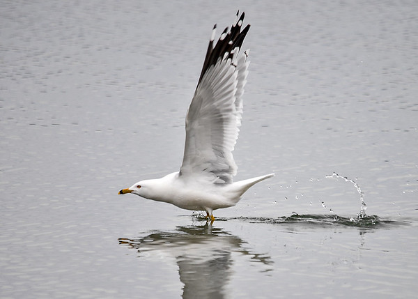 """<div class=""""jaDesc""""> <h4>Ring-billed Gull Wings Up - March 30, 2017 </h4> <p>The wings are full up for the second flap as the gull does one paddle with his webbed feet.  Then he was fully airborne and flying around.</p></div>"""