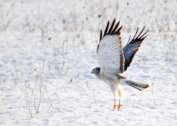 """<div class=""""jaDesc""""> <h4> Male Northern Harrier Take-off - February 22, 2016</h4> <p>This male Northern Harrier had just finished a meal in a snowy field.  Amherst Island, Ontario</p> </div>"""